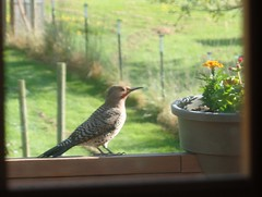 Flicker on the Deck (Karen Molenaar Terrell) Tags: birds bow pacificnorthwest washingtonstate flicker skagitcounty karenmolenaarterrell