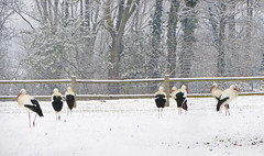 IMG_7204+7206 snow storks (pinktigger) Tags: trees winter italy snow bird nature animal fence italia outdoor stork cegonha cigea friuli storch ooievaar fagagna cicogne cicogna oasideiquadris feagne