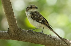 Grey-backed fiscal, Ethiopia (ebuechley) Tags: bird wildlife birding conservation ethiopia