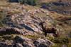 Huemul (eMinte) Tags: grey torresdelpaine magallanes huemul andeandeer awasi