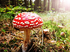 Fly acaric in the afternoon sun (stefan.proff) Tags: tree forest fly toadstool wald bume agaric pilz fliegenpilz