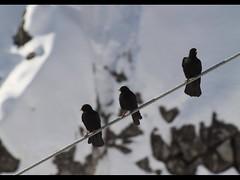 Just hanging around (tazparren@sbcglobal.net) Tags: snow black birds canon austria wire blackbirds