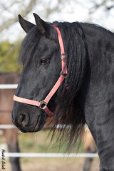 Sietse (HendrikSchulz) Tags: horses horse black animal animals outside tiere pferde pferd schwarz tier friesen sietse friesian frisian 2015 animalphotography tierfotografie drausen pferdefotografie frisons horsephotography friesenstallweh hendrikschulz hendriktschulz