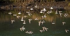 _DSC0860...FLIGHT OF THE DUNLIN (grampajeff1) Tags: flock flight quay dunlin kidwelly