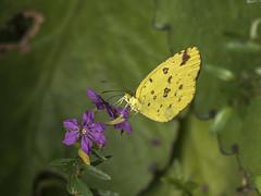 Butterflies (Velachery Balu) Tags: flowers tiger bangalore lion cubbonpark lalbagh brigaderoad bengaluru bhannerghattanationalpark january2016