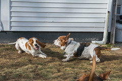 IMG_6098 (BFDfoster_dad) Tags: hound basset