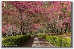 20140203__5D3_6987 ( ( Allen Yang )) Tags: canon landscapes taiwan  cherryblossoms     nantou  canonef2470mmf28liiusm canoneos5dmarkiii allenyang 5d3  allenabcmsahinetnet