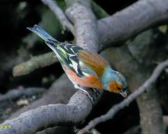Chaffinch - Fringilla coelebs (P.P.P ( point - press - pray )) Tags: bird finch