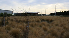 SH1 nr McLeans Island Rd (ropergees) Tags: christchurch plant landscape native canterbury nz species planting sh1