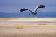 Grua (Grus grus) (Aicbon) Tags: bird nature animal landscape spain crane aves zaragoza hide pajaro grua teruel roja vuelo gallocanta grulla ocell tornos grusgrus jiloca