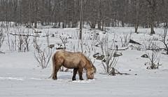 Foraging (cjh44) Tags: winter snow ontario field farm farmland pony bellrock