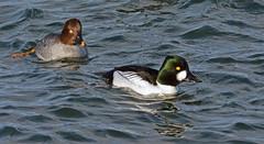Goldeneye at Draycote Water (robmcrorie) Tags: bird water duck birding reserve warwickshire goldeneye draycote