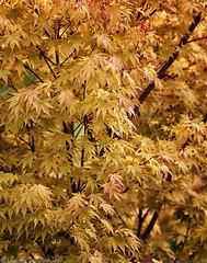 Fall Maple (mjardeen) Tags: light orange black detail tree fall texture colors yellow canon gold is washington maple soft pattern outdoor vibrant wa l 5d tacoma f4 70200mm nikcolorefex