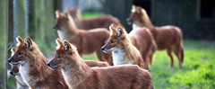 Dhole Pack (ReevesWild) Tags: nature animal canon zoo pack howletts wilddog canid dhole ukzoo