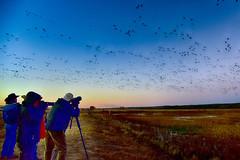 I'll STICK TO LOVE ... (Aspenbreeze) Tags: newmexico nature birds dawn photographers bosquedelapache beltofvenus flocksofbirds shadowoftheearth aspenbreeze moonandbackphotography bevzuerlein