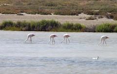 Phoenicopterus roseus (singinghedgehog) Tags: flamingo carmargue phoenicopterus roseus