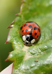 Harlequin (Annette Rumbelow) Tags: our colour garden victorian spots ladybird ladybugs wiltshire ladybirds harlequin aphids macroshots annetterumbelowwilson