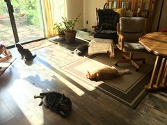 Winter Morning Sun for the Cats 3 (sjrankin) Tags: california sun sunlight animal northerncalifornia cat warm shadows floor edited tigger argent bonkers nobuo yuba 5february2016