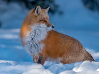 Red fox 05