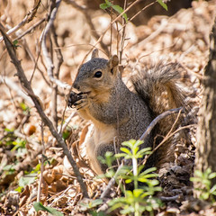 squirrel eating (apmckinlay) Tags: nature animals squirrels mammals