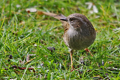 Oiseaux du jardin (Seix/Arige) (PierreG_09) Tags: jardin dunnock oiseau prunellamodularis pyrnes pirineos faune arige prunellids accenteurmouchet seix couserans passriformes