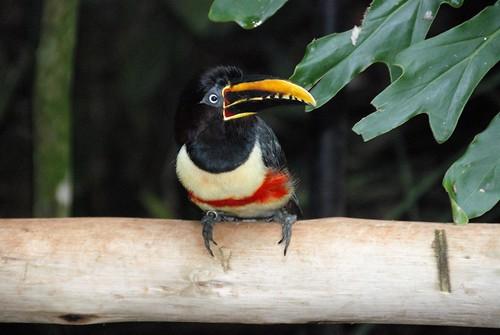 ArClBrPy 1248 - Brasile - Foz do Iguaçu - Parque  das Aves - tucani