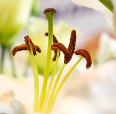 Lily pollen (cuppyuppycake) Tags: flowers flower macro closeup nikon lily indoor lilies pollen d7200