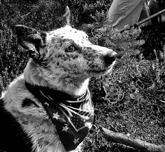 Ringo Dingo (ex_magician) Tags: pictures dog oregon photo cross image photos hiking picture trail adobe pacificcresttrail bordercollie wilderness ringo dingo acd lightroom blueheeler moik traildog adobelightroom klamathcounty mountmcloughlin skylakeswilderness cowardlycowdog winemanationalforest bestdogforrunning bestbreedforrunning bestbreedformountainbiking pucklake