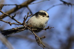 _HNS6751 Staartmees : Mesange a longue queue : Aegithalos caudatus : Schwanzmeise : Long-tailed Tit