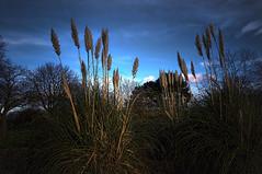 Ornamental Grass (kendo1938) Tags: trees sky plants nature gardens parks middlesbrough teesside albertpark ornamentalgrass teeside