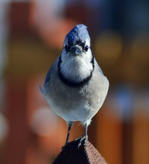 Blue jay (Isabelle T) Tags: