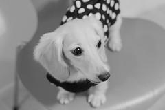 IMG_2285 (yukichinoko) Tags: dog dachshund 犬 kinako ダックスフント ダックスフンド きなこ