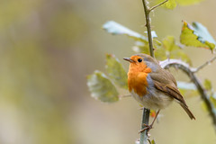 Rouge gorge ( Erithacus rubecula ) (aeyuio) Tags: wild bird nature robin animal alpes nikon erithacusrubecula wildlife nikkor tamron oiseau europeanrobin rougegorge alpesmaritimes tamron150600 nikond750