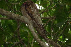 NORTHERN POTOO (Aquila-chrysaetos) Tags: birds mexico aves mx sanblas jamaicensis nyctibius nyctibiusjamaicensis