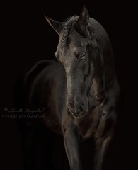 Awkwardly Shy (Hestefotograf.com) Tags: horses horse oslo norway caballo cheval married welsh arabian justmarried cavalo pferd stallion canter equine equus paard darkhorse friesian purarazaespanol equinephotographer equinephoto hestefotograf