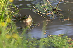 Happy Bullfrog. (rlbarn) Tags: frog bullfrog