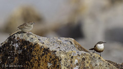 Rufous-crowned Sparrow and a Canyon Wren - an OMG moment (Bob Gunderson) Tags: california birds northerncalifornia wrens sparrows southbay santaclaracounty catherpesmexicanus canyonwren rufouscrownedsparrow aimophilaruficeps coyotelakecountypark