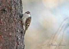 Puukiipijä, Certhia familiaris (Paavo Laine) Tags: birds talvi certhiafamiliaris lintu treecreeper pikkulintu