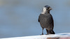 Dohle (Jackdaw) (oliver_hb) Tags: vogel cuxhaven rabenvogel dohle alteliebe