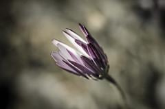 Emerging (1) (zzra) Tags: flower macro up field nikon close purple bokeh sigma shallow 105 depth desaturate
