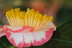 20160320-DSC_3431.jpg (d3_plus) Tags: plant flower macro nature festival japan nikon bokeh daily bloom  toyama camellia  tamron  dailyphoto   thesedays tamron90mm          tamronmacro  tamronspaf90mmf28 tamronspaf90mmf28macro11 toyamapref d700 172e tamronspaf90mmf28macro nikond700 spaf90mmf28macro11 172en