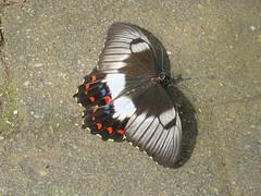 Papilio aegeus 5 (barryaceae) Tags: house butterfly harbour australia nsw coffs the ausbutterfly