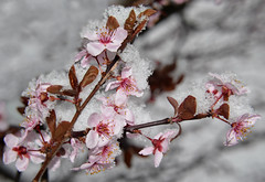 blossoms in the snow (The Julia) Tags: pink flowers snow macro branch plum sakura floweringplum