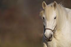 Paard (Equus ferus caballus) (mia_moreau) Tags: horse animal closeup flickr bokeh sony nederland dier limburg paard zuidlimburg animalportraits amateurphotographer tierportraits zoogdier sonyworld horsefaces paardenhoofd dierenportret paardenportret sonya58 miamoreau