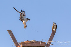 Male Osprey tosses grass toward its nest - Sequence - 10 of 19