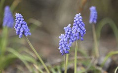 Muscari botryoides (thmlamp) Tags: hyazinthe muscaribotryoides traubenhyazinthe bisamhyazinthe straushyazinthe