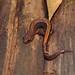 Plethodon serratus