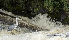 Heron in running water at Musselburgh (Alan Whyte) Tags: pct lothians pc2 riveresk alanwhyte whytelightphotography