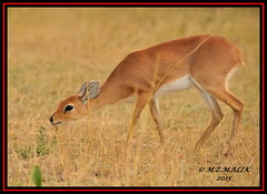 SUNI ANTELOPE (Neotagus moschatus)......MASAI MARA......SEPT 2015. (M Z Malik) Tags: africa nikon kenya wildlife ngc safari kws masaimara d3x exoticafricanwildlife 200400mm14afs
