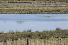Avocet (31) (Mal.Durbin Photography) Tags: nature birds newport naturereserve newportwetlands maldurbin goldcliffnewport